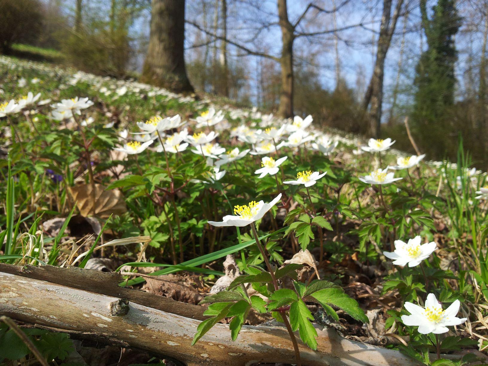 ABGESAGT: Pflanzen im Frühlingswald