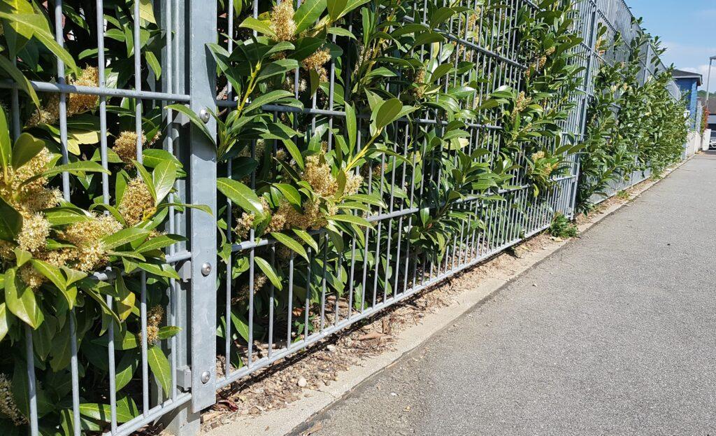 Zaun mit Kirschlorbeerhecke